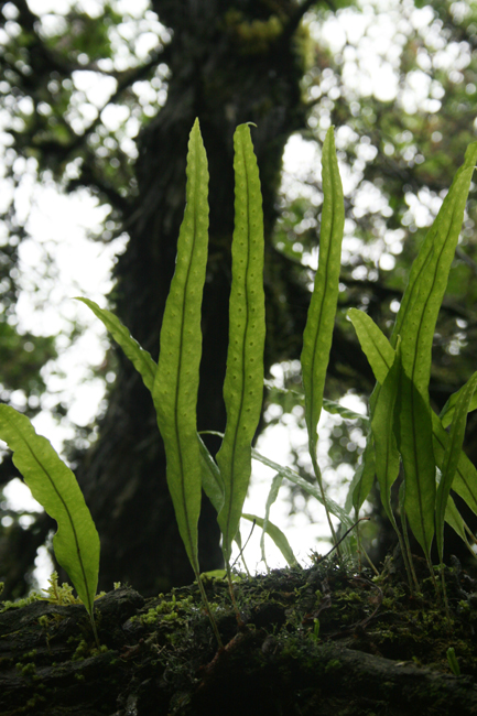 simple leaves of pleopeltis excavata