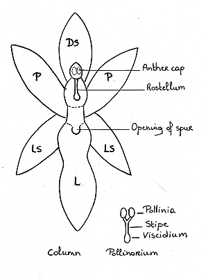 parts of orchid flower